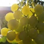 Столовый сорт винограда — Сурученский белоснежный